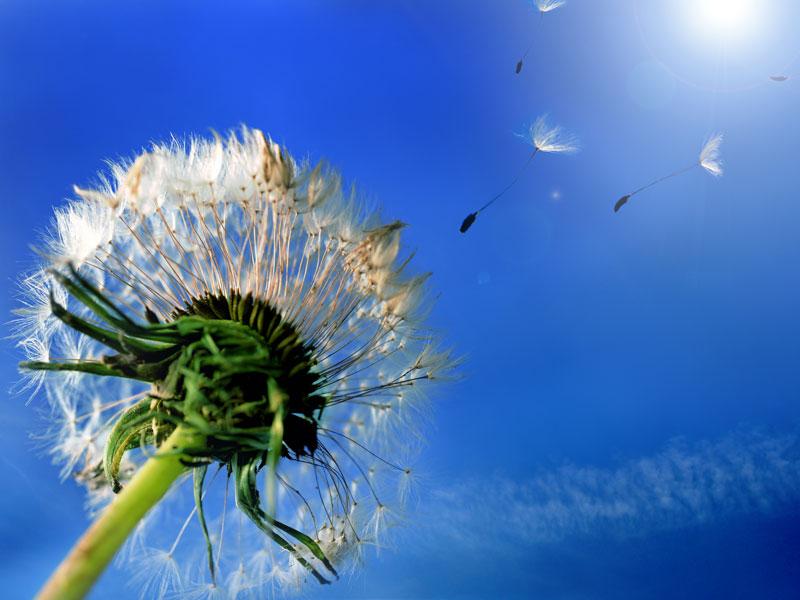 Pusteblume vor blauem Himmel mit fliegenden Samen