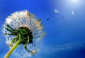 Synonym für Allergien - eine Pusteblume
